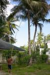24 Coconuts-L1291823