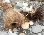 73 Coconut-L1295420