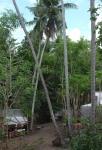 117 Coconut-DSCF0856