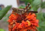 129 Grasshopper-DSCF1760