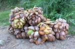 143 Coconut-DSCF3540