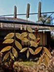 166 Leaves-DSCF5976