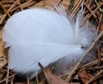 197 Feather-XT107581