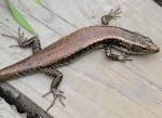 197 Lizard-XT107236
